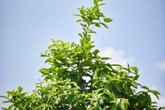 Rose apple tree stock image