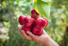 Rose apples Royalty Free Stock Images
