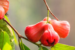Rose apples Royalty Free Stock Photography