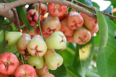 Rose apples on tree Stock Images