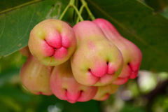 Rose apples on tree in orchard. Colesup rose apples on tree in orchard Stock Photos