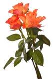 Rose arancio Fotografia Stock Libera da Diritti