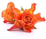 Rose arancio Fotografie Stock