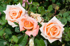 Rose arancio 1 Fotografie Stock