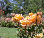Rose arancio San Jose Rose Garden, San José, Ca Immagine Stock