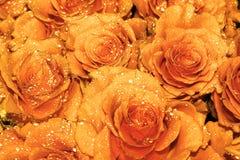 Rose arancio splendide con le gocce di acqua! immagini stock