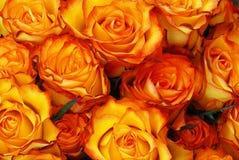 Rose arancioni Fotografie Stock Libere da Diritti