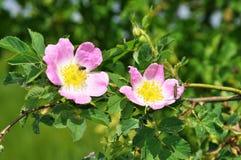 Rose arbusto Imágenes de archivo libres de regalías