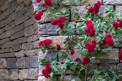 Rose arbusto con las rosas que suben rojas, fotografiadas contra la pared de piedra seca imagen de archivo
