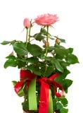 Rose arbusto con los arqueamientos Foto de archivo libre de regalías