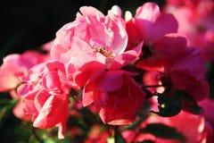 Rose arbusto en la puesta del sol Fotos de archivo libres de regalías