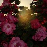 Rose arbusto en la puesta del sol Fotos de archivo