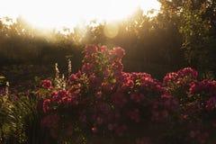 Rose arbusto en la puesta del sol Imagen de archivo libre de regalías