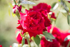 Rose arbusto roja Imágenes de archivo libres de regalías