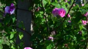 Rose arbusto y vides del arbusto primer y las monedas almacen de metraje de vídeo