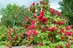 Rose arc bush. Arc of rose bush flower in garden Royalty Free Stock Photo