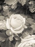 A rose. Arose in sepia tone Royalty Free Stock Photos