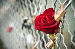 Rose in the Arts bridge in Paris Stock Photos