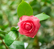Rose as a natural and holidays background Royalty Free Stock Image