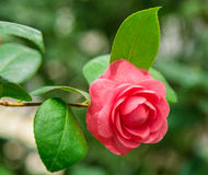 Rose as a natural and holidays background Stock Photo