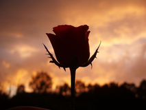 Rose as silhouette Royalty Free Stock Images