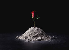 Rose from ashes. A single rose rises from a pile of ashes Royalty Free Stock Images