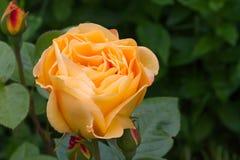 Rose Ashram in de de zomertuin royalty-vrije stock foto's