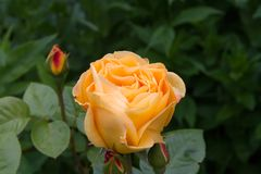 Rose Ashram in de de zomertuin stock fotografie