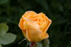 Rose Ashram in de de zomertuin stock afbeeldingen