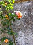 Rose Attached s'élevante orange au mur historique photo libre de droits