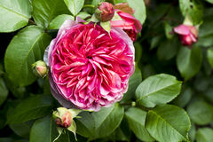 Rose auf Busch Stockbilder