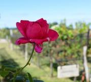 Rose auf dem Gebiet Lizenzfreie Stockbilder
