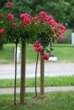 Rose auf dem Stiel stockbilder