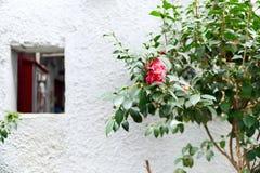 Rose auf dem Wandhintergrund Lizenzfreies Stockfoto