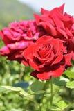 Rose auf der Niederlassung im Garten Stockfoto