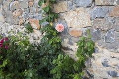 Rose auf der Wand eines alten Tempels Stockbild