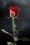 Rose auf einem dunklen Hintergrund Stockbilder
