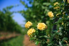 Rose auf einem Feld lizenzfreie stockfotos