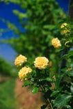 Rose auf einem Weinberg rudert lizenzfreie stockfotografie