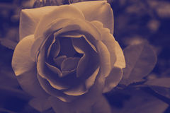 Rose auf Mondschein Lizenzfreie Stockbilder