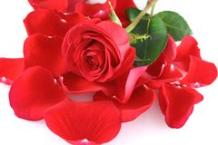 Rose auf rosafarbenen Blumenblättern Stockbilder