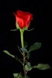 Rose auf schwarzem Hintergrund Lizenzfreie Stockbilder