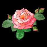 Rose auf schwarzem Hintergrund Stockbild