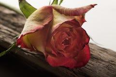 Rose auf Treibholz stockbild