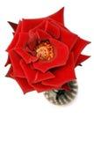 Rose auf Weiß stockfotografie