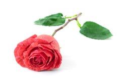 Rose auf Weiß Stockfoto