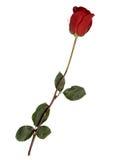 Rose auf weißem Hintergrund Stockfoto