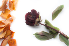 Rose and autumn leaves Stock Images