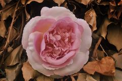 Rose in autumn leaves Stock Images