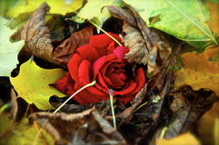 Rose in the autumn leaves Royalty Free Stock Images